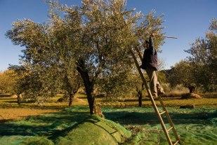 recoleccion-olivas